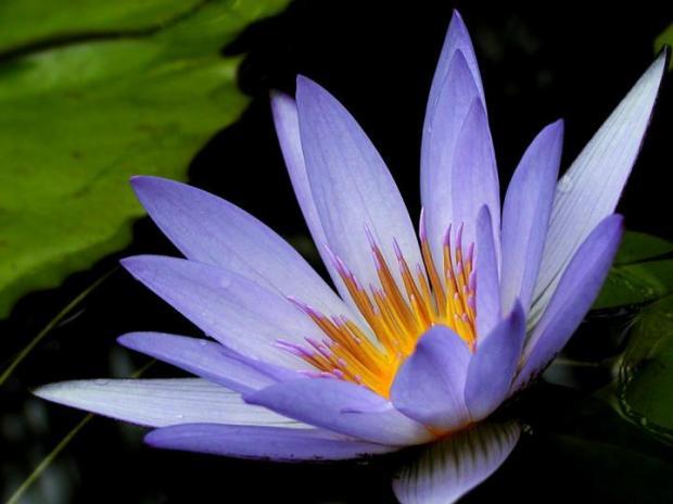 purple_lotus_closeup.720x